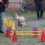 Labrador Fiete im Training